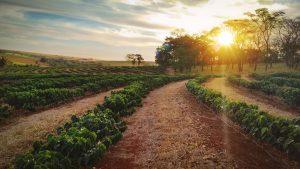 Káva ako rastlina - plantáže