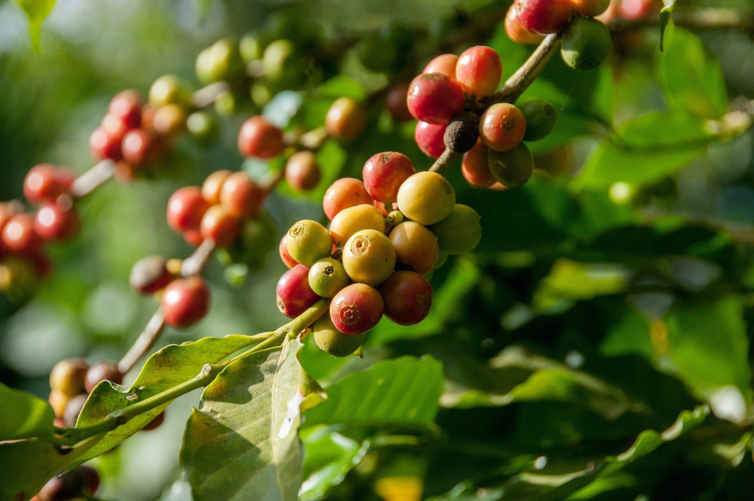 káva ešte na plantáži