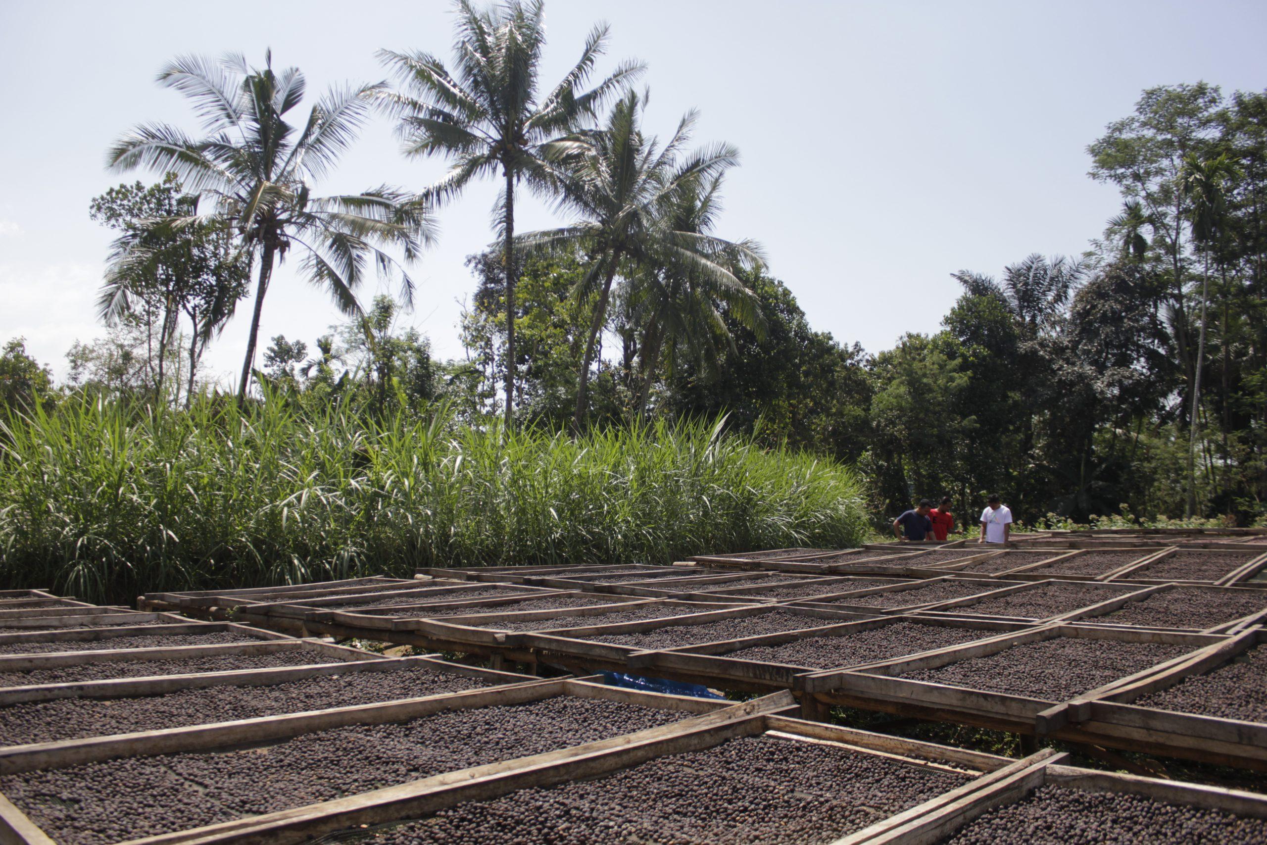 fermentácia kávy z Indonézie